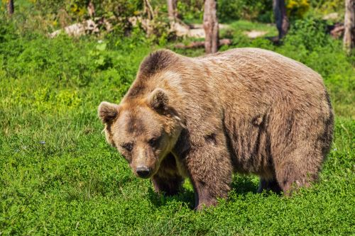 Brown Bear Near Running Trail