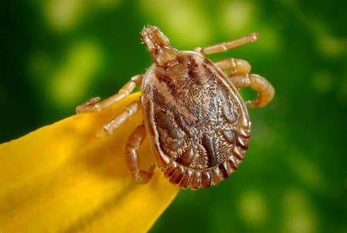 Tick with Possible Lyme Disease